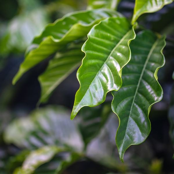 Close-up shot of coffee leaves
